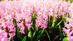 Fantastiska blommor i vårblomsterrabatt Rosa hyacint Arkivbilder