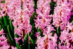 Fantastiska blommor i vårblomsterrabatt Rosa hyacint Fotografering för Bildbyråer