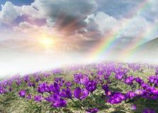 Fantastiska blommor - krokusar Arkivfoton