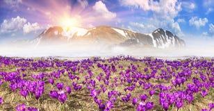 Fantastiska blommor - krokusar Arkivfoto