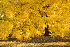 Fantastiska guld- Autumn Maple Tree Hangs Heavy med dess nedgånggulingsidor Royaltyfria Bilder