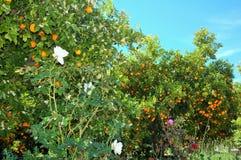 Fantastiska härliga orange träd bredvid rosor Arkivfoton