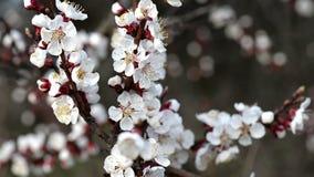 Fantastiska körsbärsröda blommor på frunchen som flyttar sig med vind i molnig vårdag arkivfilmer