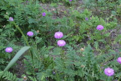 Fantastiska lilablommor som blommas i fältet De har lila kronblad och gör grön sidor Royaltyfria Foton
