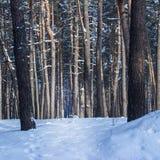 Fantastiska naturstammar av högväxt sörjer i en vinterskog inget omkring arkivfoton