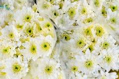 Fantastiska nya buketter av den vita tusenskönan in Royaltyfri Fotografi