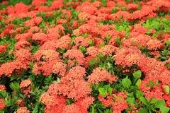 Fantastiska röda blommor med gröna sidor Aruba önatur Arkivbilder