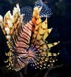 Fantastiska randiga Firefish som simmar ner under vatten Arkivbild