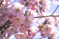 Fantastiska rosa sakura blommar bakgrund Closeupfoto med blurr Royaltyfri Foto
