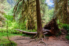 Fantastiska träd i en tropisk skog, Hoh Rain skog, olympisk nationalpark, Washington USA Arkivbilder