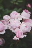 Fantastiska underbara härliga rosa älskvärda blommarosor Arkivbild