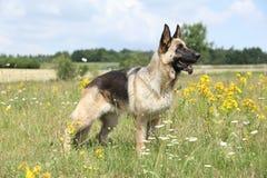 Fantastiskt anseende för tysk herde på grönt fält Royaltyfri Fotografi
