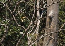 Fantastiskt fä och var att finna dem - Bucerosbicornis/den stora hornbillen Arkivbilder