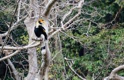 Fantastiskt fä och var att finna dem - Bucerosbicornis/den stora hornbillen Royaltyfri Fotografi