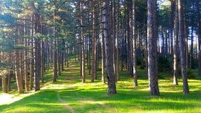 Fantastiskt landskap av naturen Rent grönt gräs exponerat av solen och det vintergröna slutet och bakgrunden för träd upp arkivfoton