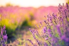 Fantastiskt lavendelfält Färgrik bakgrund för sommarblommalandskap arkivbilder