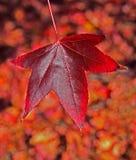 Fantastiskt rött höstblad Arkivfoto