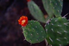 Fantastiskt slut upp av en blommande kaktus för taggigt päron, den statliga blomman av Texas arkivfoton