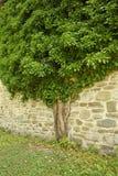 Fantastiskt träd i Rumänien Arkivfoto