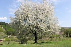 Fantastiskt vårträd Arkivfoto