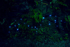 Fantastiskt waitomoglöd avmaskar i grottor som lokaliseras i Nya Zeeland Royaltyfria Foton