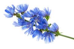 fantastiskt wild för blå blåklint Arkivfoto