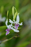 Fantastyczna kwiat orchidea Fotografia Royalty Free