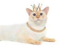 Fantastycznego trakenu Mekong Bobtail kot Odizolowywał Białego tło Zdjęcie Royalty Free