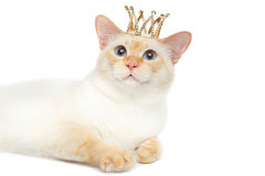 Fantastycznego trakenu Mekong Bobtail kot Odizolowywał Białego tło Fotografia Stock