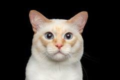 Fantastycznego trakenu Mekong Bobtail kot Odizolowywał Czarnego tło Zdjęcia Stock