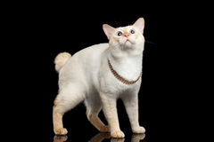 Fantastycznego trakenu Mekong Bobtail kot Odizolowywał Czarnego tło Obraz Royalty Free