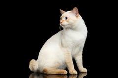 Fantastycznego trakenu Mekong Bobtail kot Odizolowywał Czarnego tło Obrazy Royalty Free