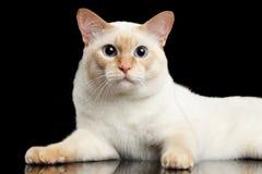 Fantastycznego trakenu Mekong Bobtail kot Odizolowywał Czarnego tło Zdjęcie Stock