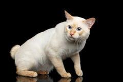 Fantastycznego trakenu Mekong Bobtail kot Odizolowywał Czarnego tło Zdjęcie Royalty Free