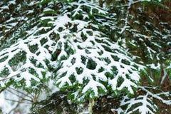 Fantastyczny sosnowy zima las z drzewami zakrywającymi w śniegu fotografia royalty free