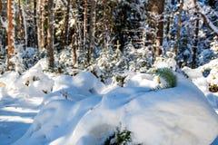 Fantastyczny sosnowy zima las z drzewami zakrywającymi w śniegu zdjęcia stock