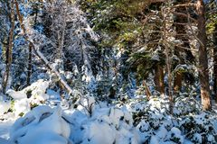 Fantastyczny sosnowy zima las z drzewami zakrywającymi w śniegu obrazy stock