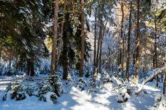 Fantastyczny sosnowy zima las z drzewami zakrywającymi w śniegu obrazy royalty free