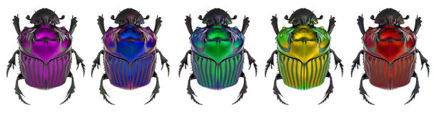 Fantasy colors on Oxysternon conspicillatum. true color in the middle specimen Stock Photos