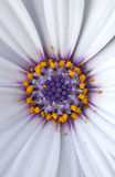 Fantasy Daisy Macro Shot Royalty Free Stock Photography