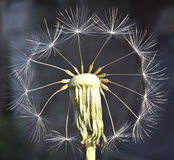 Fantasy with dandelion Stock Photography