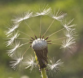 Fantasy with dandelion Stock Image