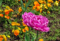 Fantasy dark pink is a type of parrot tulips, Lily family Liliaceae. Pink-purple curly tulips against the background of green grass and other yellow-orange Stock Photography