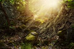 Fantasy mystic elf forest. Fantasy elf forest with rocky trail and mighty tree roots, mystic and dreamy mood Royalty Free Stock Images