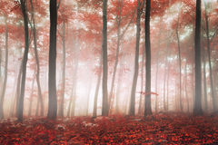 Fantasy forest. Fantasy autumn red beech forest Royalty Free Stock Photos