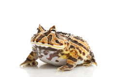 Fantasy Frog Royalty Free Stock Photography