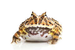 Fantasy Frog Stock Photography