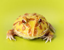 Fantasy Frog. On a green background Stock Image