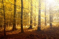 Fantasy golden sun light in the autumn forest. Landscape. Lovely red, orange and yellow color leaves on the forest floor royalty free stock photography