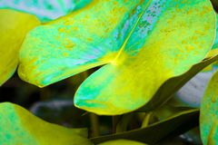 Fantasy leaf lotus  in sping sumer after raining in the morning. Technical cost-up Royalty Free Stock Image